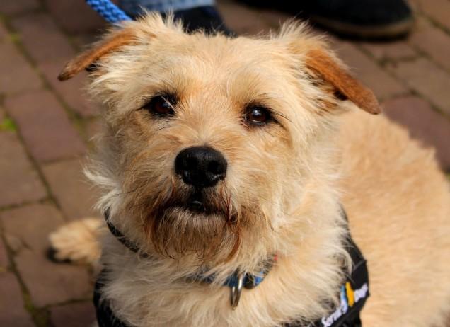 piepende hond